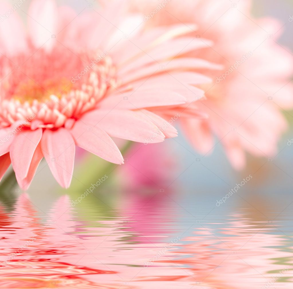 Pink daisy-gerbera reflected in water