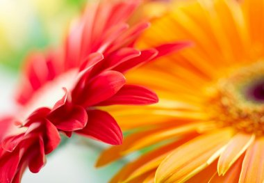 Closeup photo of red and yellow daisy-ge