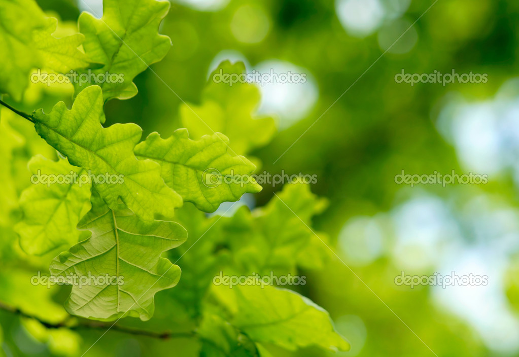 Green oak leaves background