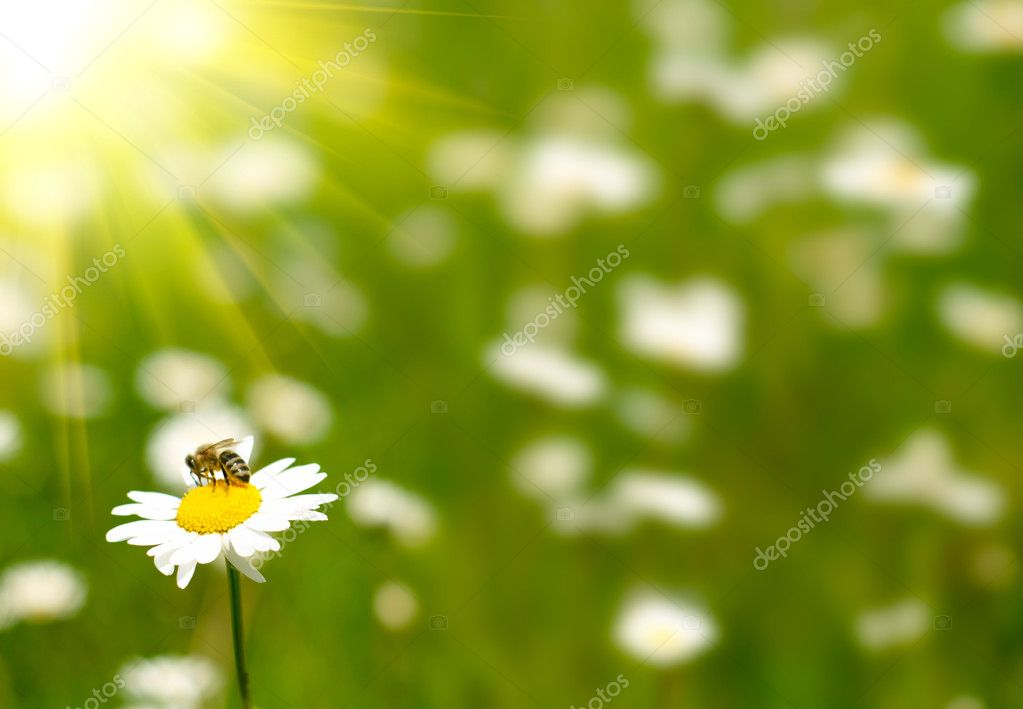 Chamomile and bee