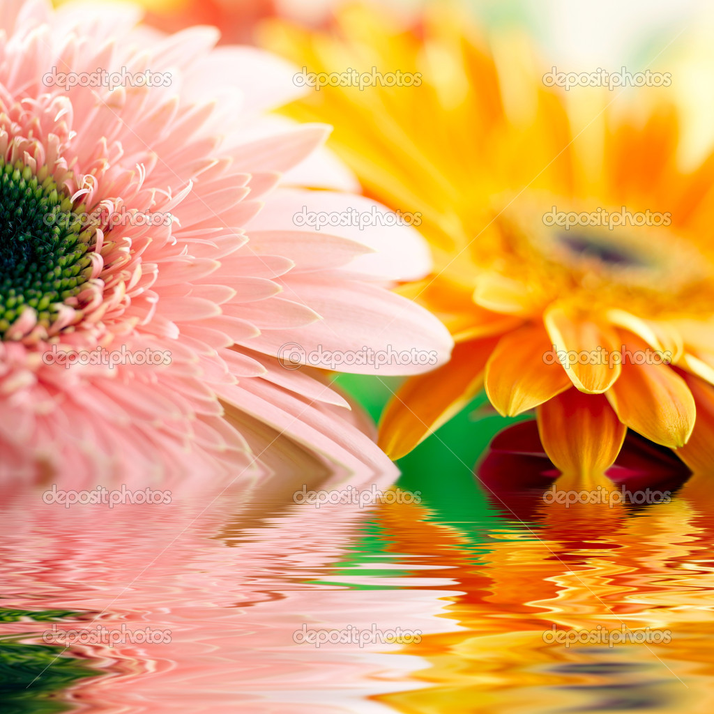 Closeup of pink daisy-gerbera with soft