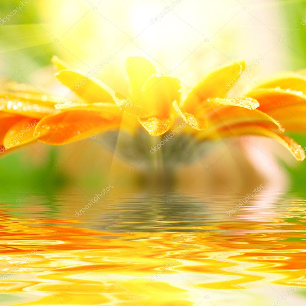 Closeup photo of yellow daisy-gerbera