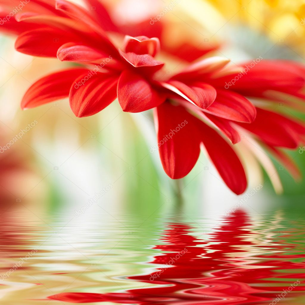 Red daisy-gerbera with soft focus reflec