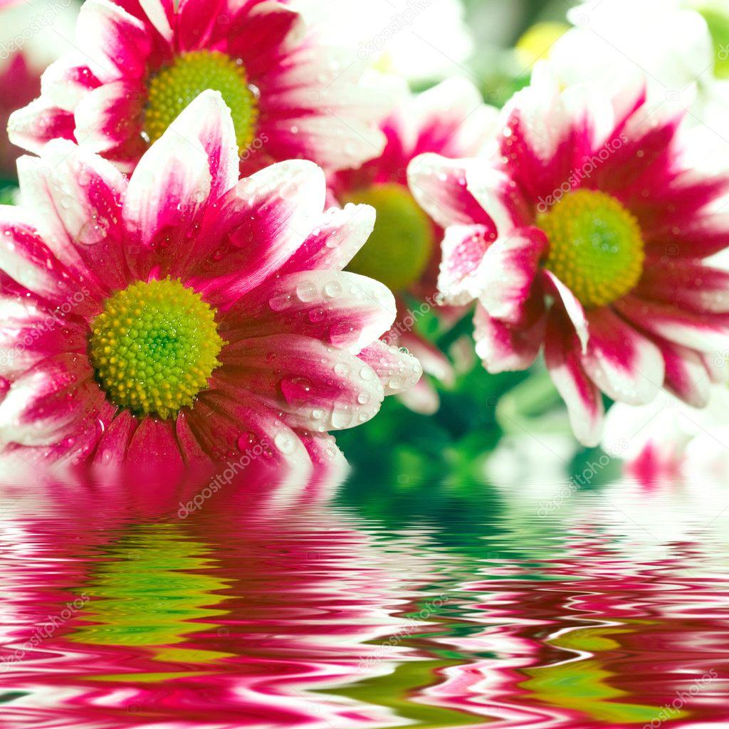 Closeup of pink daisy-gerberas