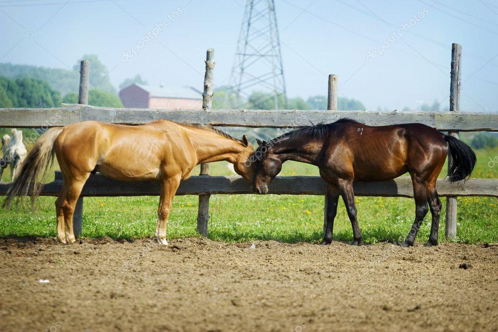 Couple of western horses