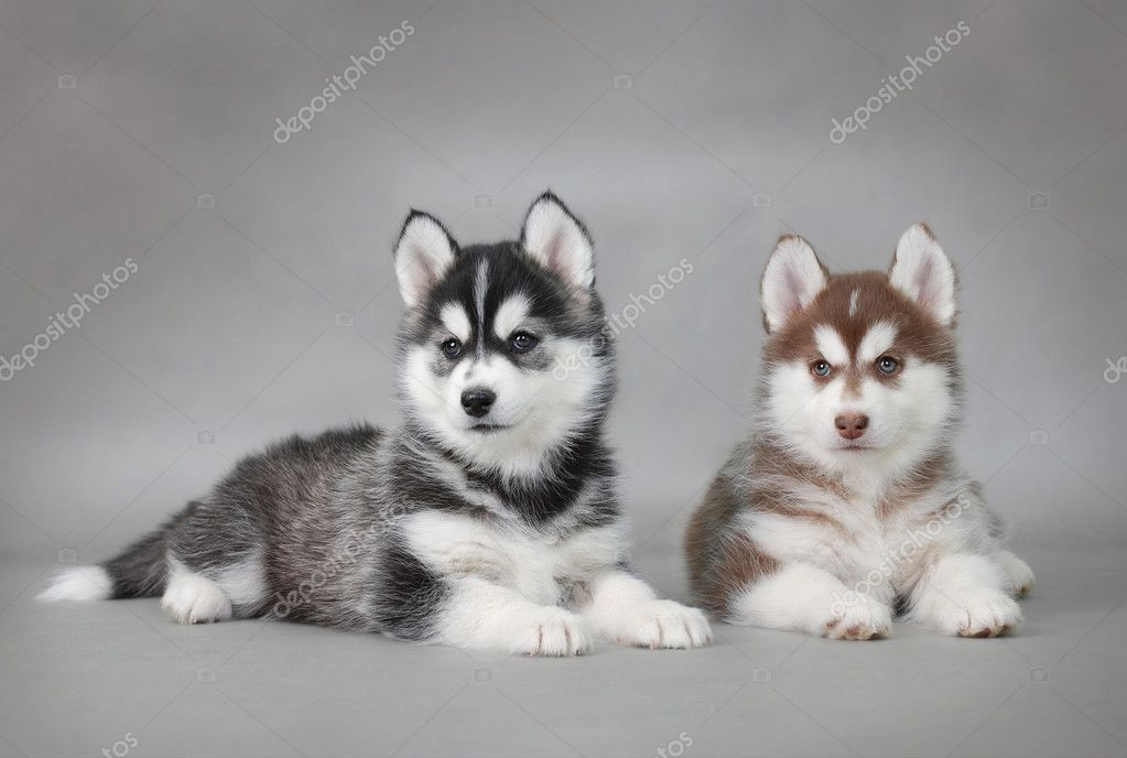 Two Siberian Husky puppies portrait