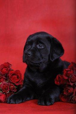 Labrador retriever puppy with red roses