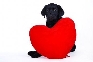 Black labrador retriever puppy with red heart on the white background stock vector