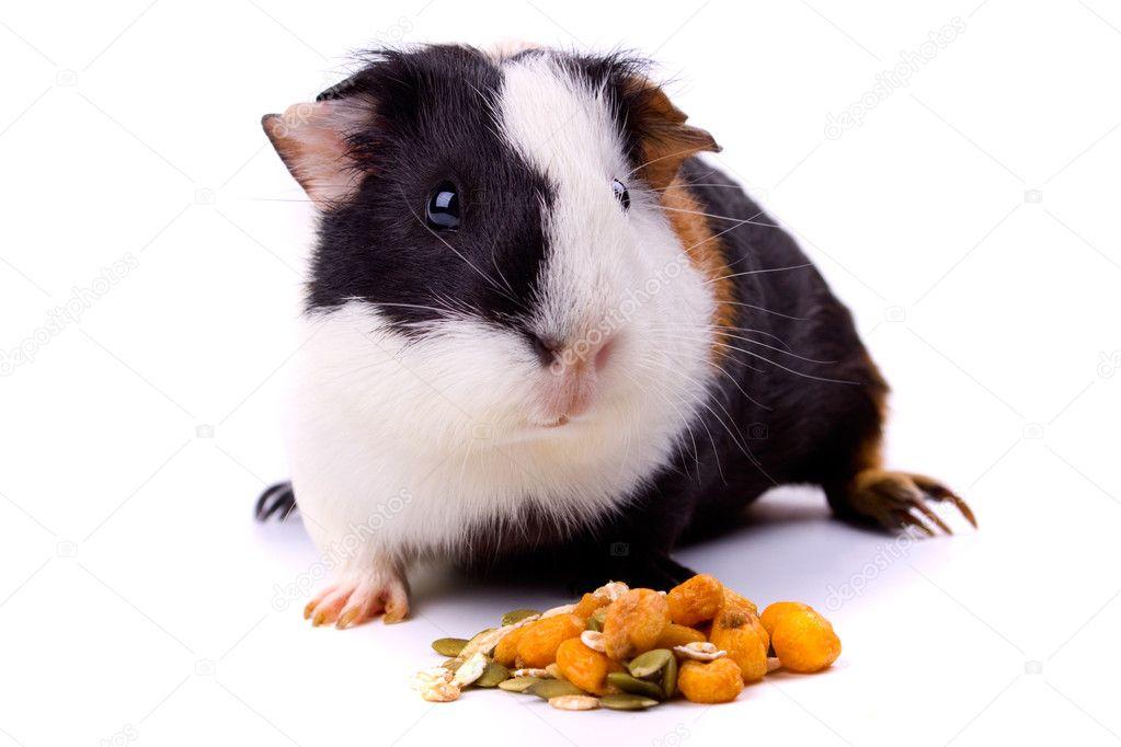 Guinea pig, pet animal isolated on white background