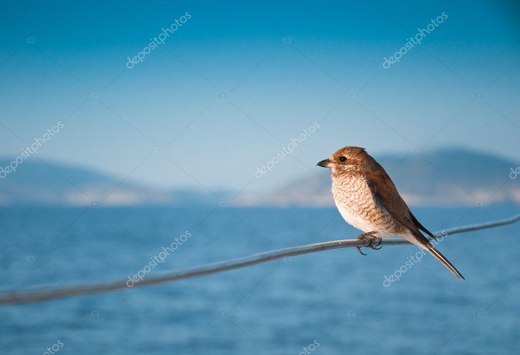 Sea sparrow on boat