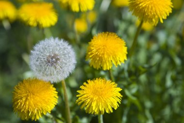 White dandelion among yellow dandelions