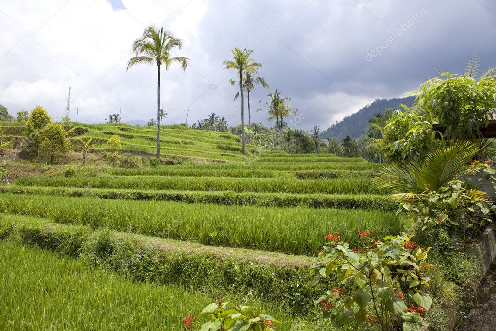 Kind on rice terraces, Bali, Indonesia