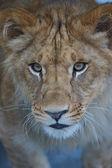 primo piano di un cucciolo di leone carino