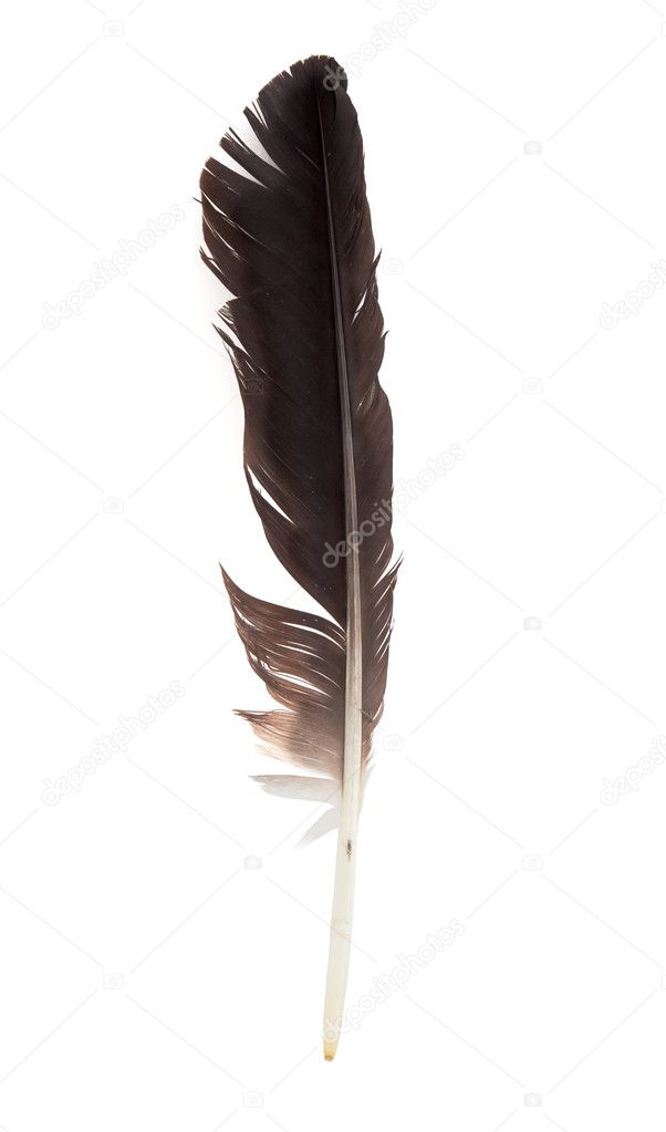 Black feather of a stork