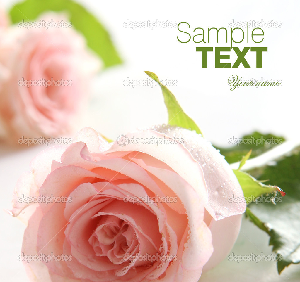 Close up on pink rose
