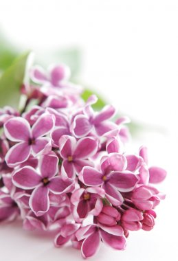 Violet flowers of lilac