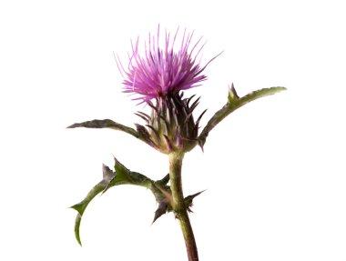Flowering Spear Thistle