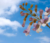 Fotografie Flowers of paulownia tree