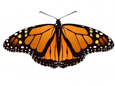 Vector illustration of monarch butterfly