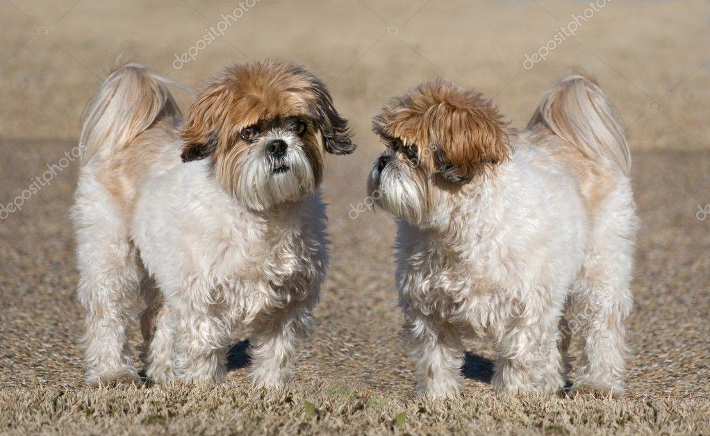 Two Shih-Tzu Dogs