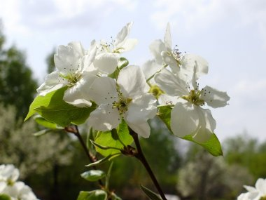 Far pear flowers in the spring