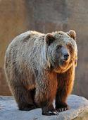 grizzly medve portré