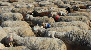 A herd of sheeps walking in a field stock vector