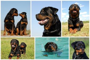 Composite picture rottweiler