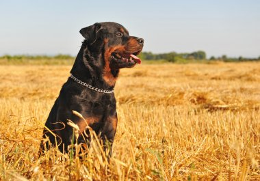 Rottweiler in a field