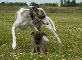 Levriero e cucciolo pastore