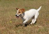 Fényképek futás jack russel terrier