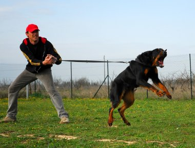 Attack of beauceron