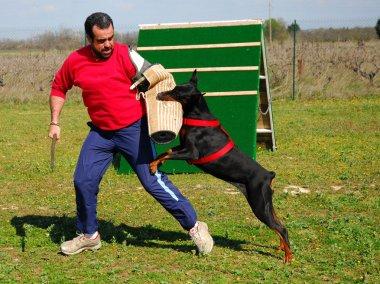 Training of doberman