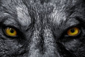 Fotografie Eyes of wolf