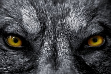 Beautiful eyes of a wild wolf: dangerous mammal stock vector
