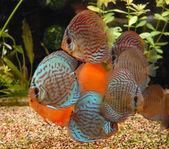 Fényképek Tropical fish discus (Symphysodon)
