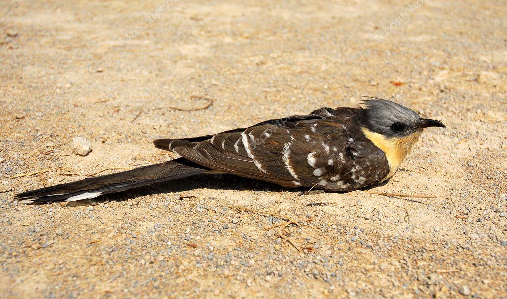 マダラカンムリカッコウ - Great spotted cuckoo - JapaneseClass.jp