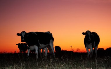 Dairy cows in a dramatic sunset