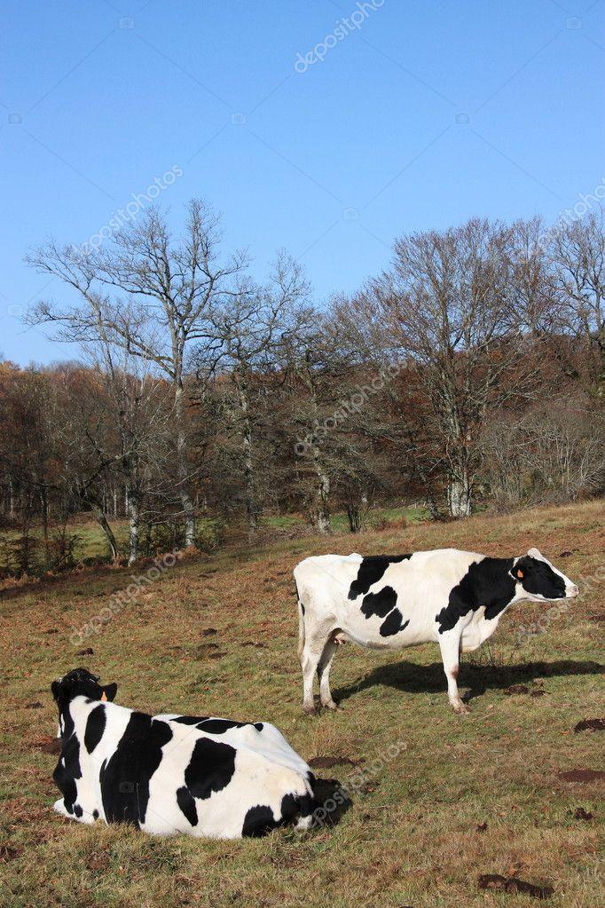 Holstein Friesian dairy cows