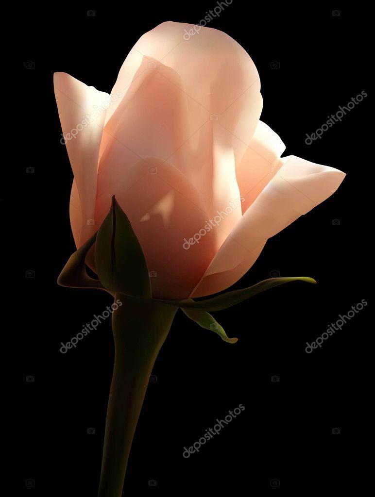 Illustrazione Nero Con Rosa Bianca Rosa Bianca Su Sfondo Nero