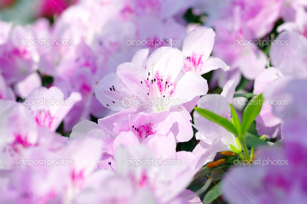 Pink Blossom. Close-Up of Azalea Flower.