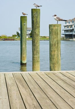 Seagulls on Pilings