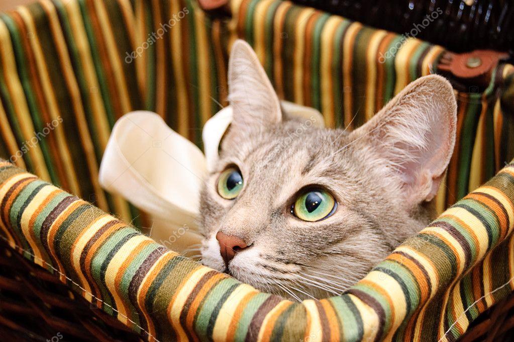 Smoky cat looking curious