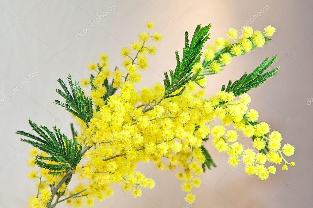 Acacia, Mimosa