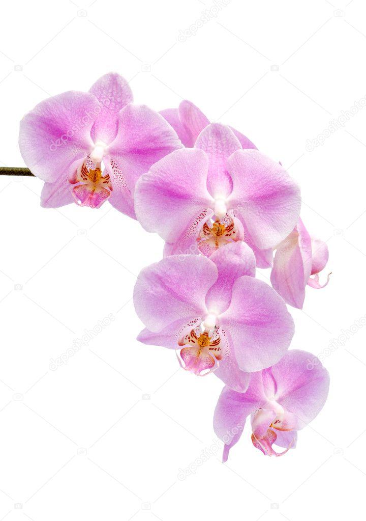 Fiori di un ibrido di orchidea phalaenopsis foto stock for Orchidea prezzo