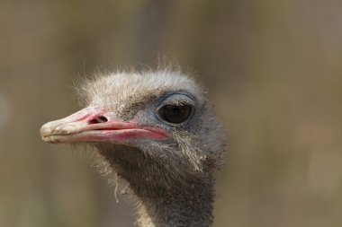 Dirty ostrich portrait