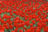 领域的红色郁金香