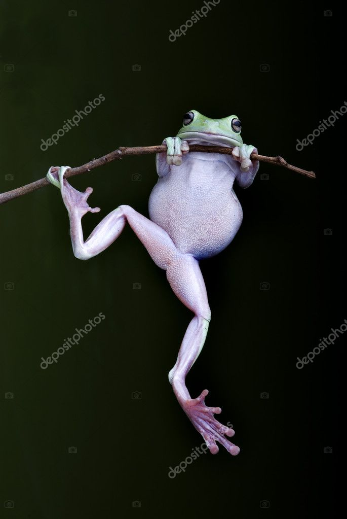 Green Tree Frog hanging on a twig