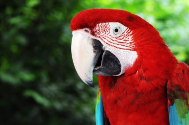 Green Wings Macaw