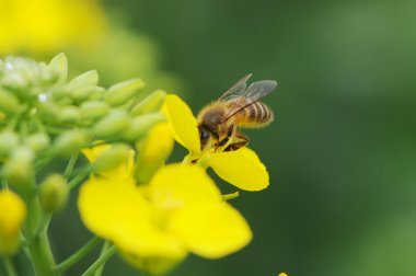 Rape flower and bee